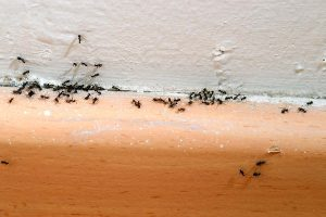 Ants around base boards